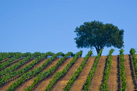 Lone Tree and Grapevines